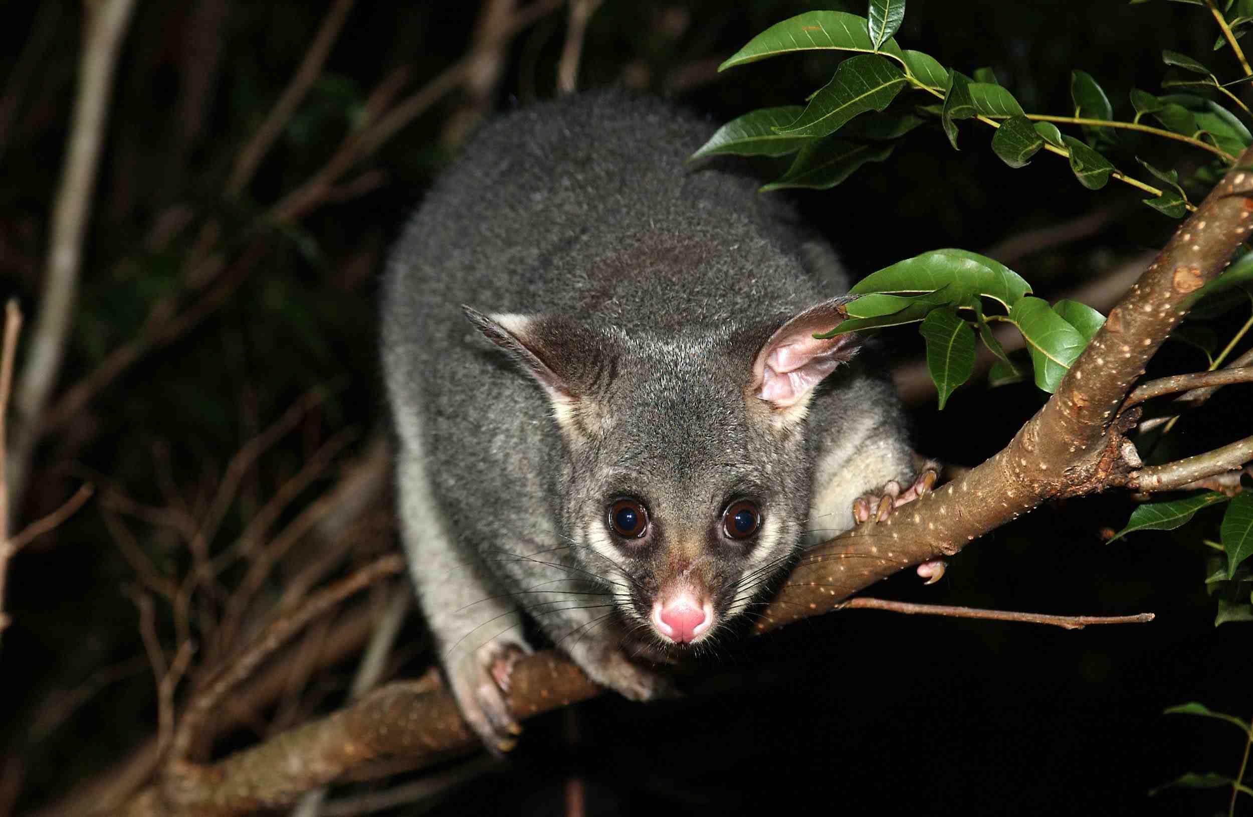Brushtail possum in its natural Australian habitat