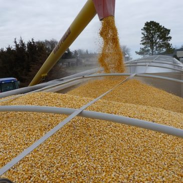 Maize being poured