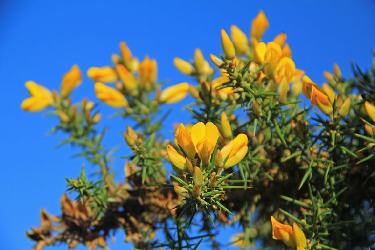 The thorny problem of gorse control